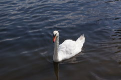 A swan in his natural environement: lake. Royalty Free Stock Image
