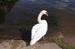 A swan in his natural environement: water, lake. Royalty Free Stock Image