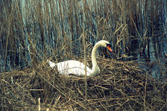 Swan on his nest Royalty Free Stock Photo