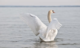 Swan holds up wings Stock Photo