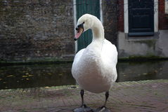Swan in Holland Royalty Free Stock Image