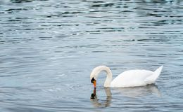Swan on the hunt royalty free stock photography