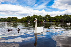 Swan in Hyde Park. Beautiful Swan in Hyde Park, two ducks at his side, another swan in the background, nice green trees and blue sky with white clouds Stock Photography