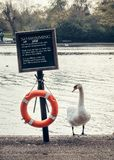 Swan in Hyde Park. Swan, lifebuoy and plate «No swimming» in the Hyde park, London Stock Photo