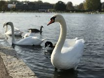 Swan in Hyde Park. London Royalty Free Stock Image