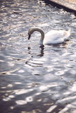 Swan in Hyde Park, London. Royalty Free Stock Photos