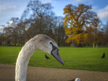 Swan at Hyde Park, London Stock Image
