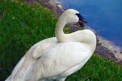 Swan i damm fotografering för bildbyråer