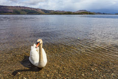 Swan i en lake royaltyfria foton