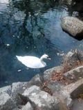Swan i ett damm Royaltyfria Bilder