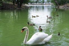 Swan i ett damm Vit svan med änder i sjön arkivfoton