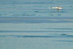 Swan i flyg över is arkivbild