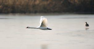 Swan i flyg royaltyfria bilder