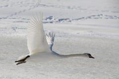 Swan i flyg Royaltyfri Foto