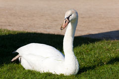 Swan i Fontainebleau royaltyfria foton