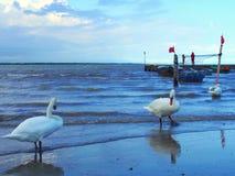 Swan i havet Fotografering för Bildbyråer