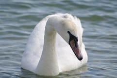 Swan i havet Royaltyfri Bild