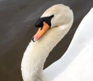 Swan i laken Arkivbild