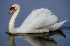 Swan i laken Royaltyfri Fotografi