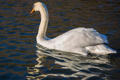Swan i laken royaltyfria foton