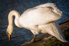Swan i laken royaltyfria bilder