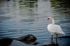 Swan i Toronto Royaltyfri Bild