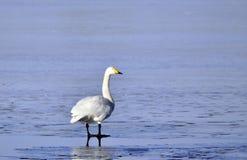 Swan on ice Royalty Free Stock Photos