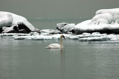 Swan on ice Royalty Free Stock Photos