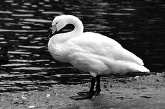 A swan on the ice. In black and white Royalty Free Stock Photos