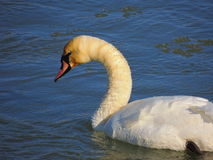 Swan. In ice cold water Royalty Free Stock Photo