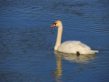 Swan. In ice cold water Royalty Free Stock Photography