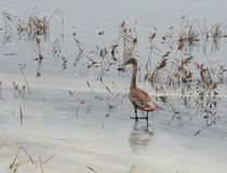 Swan on ice in flood field, Lithuania Royalty Free Stock Image