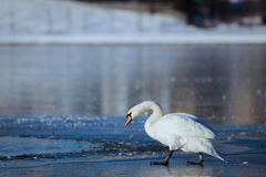 Swan on ice of lake Royalty Free Stock Images