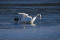 Swan on the ice Stock Photo