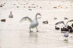 Swan on ice Stock Image