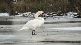 Swan on the ice. Stock Images