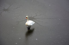 Swan on ice Stock Photo