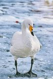 Swan on Ice. White Swan Stands on the Ice Stock Image