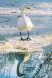 Swan on Ice Royalty Free Stock Photo