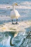 Swan on Ice Royalty Free Stock Photo