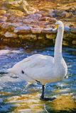 Swan on Ice. White Swan Stands on the Ice Royalty Free Stock Photos