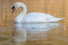 A swan on an icy pond. A swan on the Ornamental Lake in the ice, Southampton Common stock photos