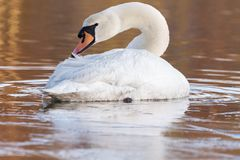 A swan on an icy pond. A swan on the Ornamental Lake in the ice, Southampton Common stock images