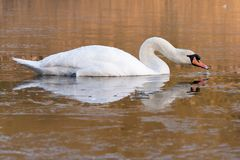 A swan on an icy pond. A swan on the Ornamental Lake in the ice, Southampton Common royalty free stock photography