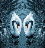 Swan III. A digital composition of two Mute Swans (Cygnus Olor Vector Illustration