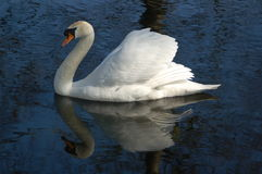 Swan ik the lake Stock Photos
