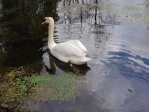 Swan at the Irish Stud National park. Irish Stud National park and gardens ,Kildare,Ireland royalty free stock photos