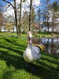 Swan at the Irish Stud National park. Irish Stud National park and gardens ,Kildare,Ireland stock photography