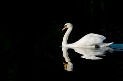 Swan isolated black Stock Photography
