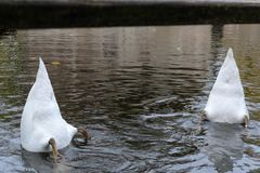 Swan with its head under the water looking for food stock photography